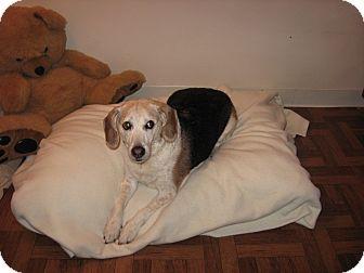 Beagle Mix Dog for adoption in Port Clinton, Ohio - HUNTER