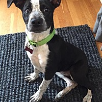 Adopt A Pet :: Dasher - Enfield, CT