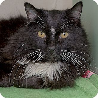 Domestic Longhair Cat for adoption in Wilmington, Delaware - Grit