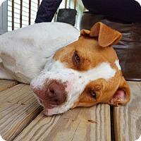 Adopt A Pet :: Carrington - Hopkinton, MA