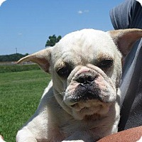 French Bulldog Dog for adoption in Rochester, New York - Anderson Mugs