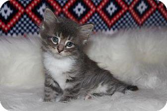 Domestic Mediumhair Kitten for adoption in Mission, Kansas - Sleepy Kitty