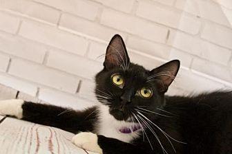 Domestic Mediumhair Cat for adoption in Alpharetta, Georgia - Chickadee