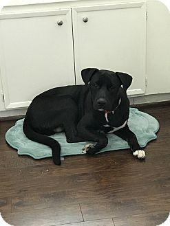 Labrador Retriever Mix Dog for adoption in Spring, Texas - Phineas