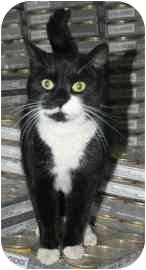 Domestic Shorthair Cat for adoption in tucson, Arizona - Sasaby