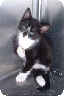 Domestic Shorthair Kitten for adoption in Honesdale, Pennsylvania - Tux
