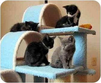 American Shorthair Kitten for adoption in Alexandria, Virginia - James, Princess...