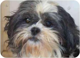 Shih Tzu Dog for adoption in Shelton, Connecticut - Veronica