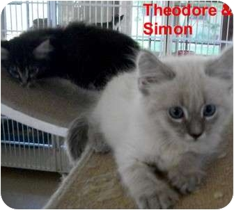 Domestic Shorthair Kitten for adoption in Slidell, Louisiana - Simon