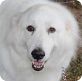 Great Pyrenees Dog for adoption in Bloomington, Illinois - Nadia Courtesy Post