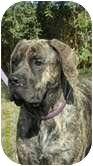 Mastiff Dog for adoption in Roodhouse, Illinois - Tessie