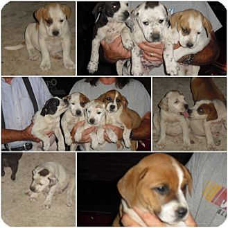 American Bulldog/Hound (Unknown Type) Mix Puppy for adoption in Bel Air, Maryland - Star