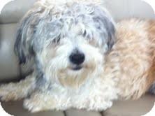 Maltese/Poodle (Miniature) Mix Dog for adoption in Boulder, Colorado - Farley