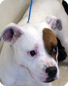 American Staffordshire Terrier Dog for adoption in Ludington, Michigan - Gabby