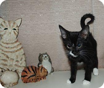 Domestic Shorthair Kitten for adoption in St. Louis, Missouri - Nessa