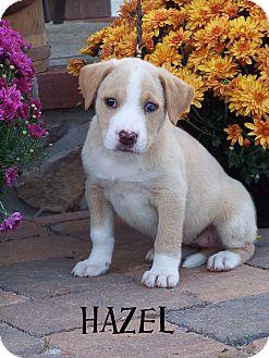 Shepherd (Unknown Type)/Labrador Retriever Mix Puppy for adoption in Milford, New Jersey - Hazel