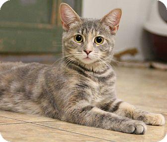 Domestic Shorthair Cat for adoption in Huntingdon, Pennsylvania - Destiny