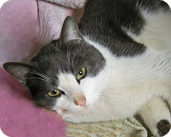 Domestic Shorthair Cat for adoption in Rochester, New York - Lewis