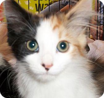 Calico Kitten for adoption in Castro Valley, California - Callie