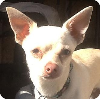 Chihuahua Mix Dog for adoption in Madras, Oregon - Toby