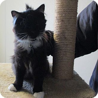 Domestic Mediumhair Kitten for adoption in Pinedale, Wyoming - Uli