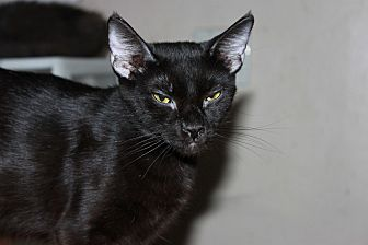 Domestic Shorthair Cat for adoption in Mesa, Arizona - Cuddles