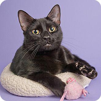 Domestic Shorthair Cat for adoption in Wilmington, Delaware - Ju Ju