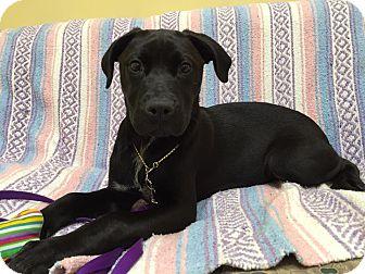 Pit Bull Terrier Mix Puppy for adoption in Maryville, Missouri - Beezus