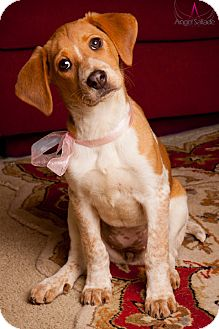 English (Redtick) Coonhound Mix Puppy for adoption in Bloomington, Illinois - Reagan