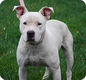 Pit Bull Terrier/American Bulldog Mix Dog for adoption in Coeburn, Virginia - Tealie