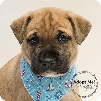 Labrador Retriever Mix Puppy for adoption in Troy, Ohio - Bart