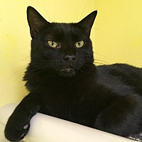 Domestic Shorthair Cat for adoption in Stevensville, Maryland - Kat