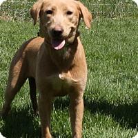 Labrador Retriever/Golden Retriever Mix Dog for adoption in Brattleboro, Vermont - Bonnie