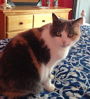 Domestic Shorthair Cat for adoption in Furlong, Pennsylvania - Winnie