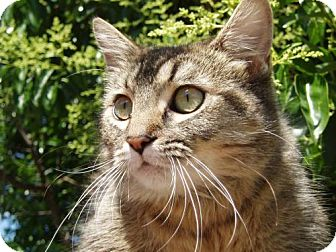 Domestic Mediumhair Cat for adoption in Walnut Creek, California - Amelia