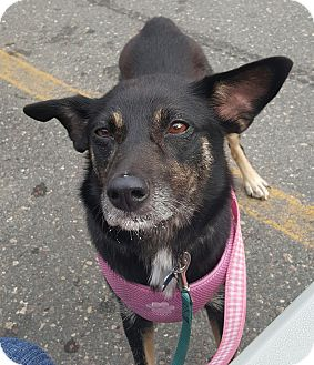 Australian Shepherd Mix Dog for adoption in Minneapolis, Minnesota - Nova