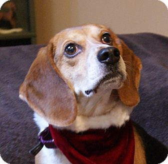 Beagle Mix Dog for adoption in Dundee, Michigan - Trooper - Adoption Pending