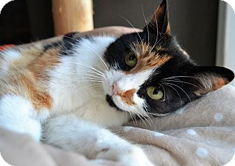 Calico Cat for adoption in Michigan City, Indiana - Spring