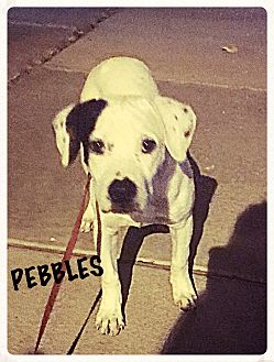 Dalmatian/Bull Terrier Mix Puppy for adoption in Tempe, Arizona - Pebbles