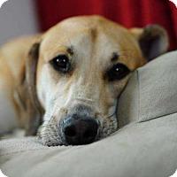 Adopt A Pet :: Scotch - Tampa, FL