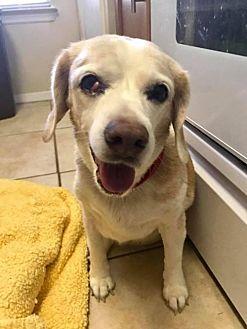 Beagle Dog for adoption in Jacksonville, Florida - Daisy May