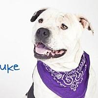 Adopt A Pet :: *DUKE - Sacramento, CA