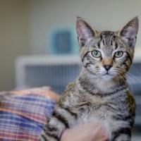 Domestic Shorthair/Domestic Shorthair Mix Cat for adoption in Alpine, Texas - Clouder