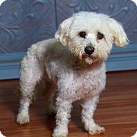 Adopt A Pet :: Sophia - Valparaiso, IN