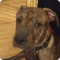 Adopt A Pet :: Murphy - Englewood, NJ