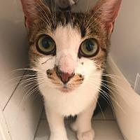 Adopt A Pet :: Beba - New York, NY