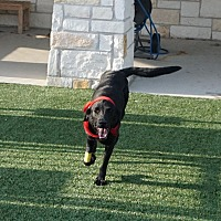 Adopt A Pet :: Becky - North Richland Hills, TX