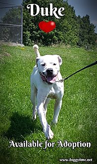American Bulldog/Dogo Argentino Mix Dog for adoption in Warkworth, Ontario - Duke