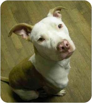 American Staffordshire Terrier/Greyhound Mix Dog for adoption in Brooklyn, New York - Sugar