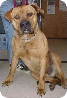 Bullmastiff Dog for adoption in North Judson, Indiana - Goliath